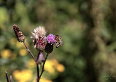 pszczola2